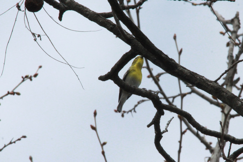 Yellow-throated Vireo @ Lost Valley Trail