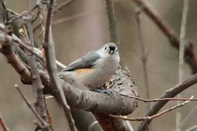 Tufted Titmouse @ Powder Valley CNC [Visitor Center]