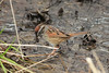Swamp Sparrow @ Columbia Bottom CA