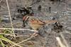 Swamp Sparrow @ Columbia Bottom CA