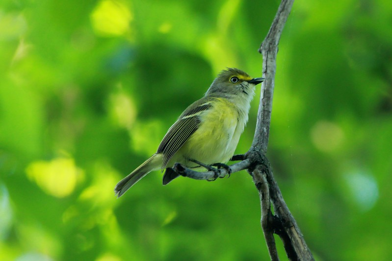 White-eyed Vireo @ Castlewood SP