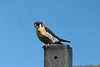 American Kestrel @ Bellefontaine CA [Catfish Pond]