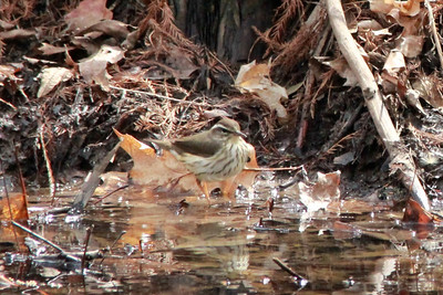Louisiana Waterthrush @ Shaw Nature Reserve [Quarry Road]