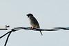 Eurasian Tree Sparrow @ Riverlands MBS [Red School Road]