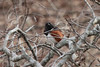 Eastern Towhee (Male) @ Rockwoods Reservation [Education Pond]