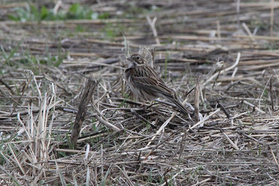 Vesper Sparrow @ Riverlands MBS [Orton Road]