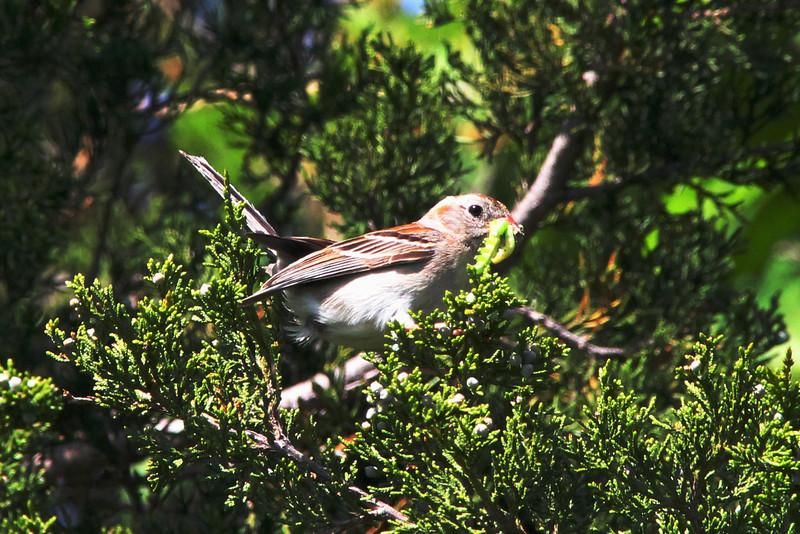 Field Sparrow @ Blue Grosbeak Trail