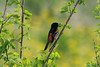 Orchard Oriole (Male) @ Big Muddy NFWR [Cora Island Unit]