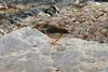 Louisiana Waterthrush @ Rockwoods Reservation [Hamilton Creek]