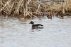 Horned Greb @ Bellefontaine CA lBluegill Pond]