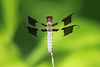 Common Whitetail Dragonfly (Plathemis lydia) @ Lost Valley Trail