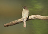Eastern Phoebe @ Lost Valley Trail
