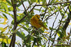 Yellow Warbler [Male] @ Blue Grosbeak Trail