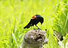 Red-winged Blackbird @ Riverlands MBS [Audubon Visitor Center]