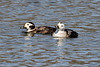Long-tailed Duck (Pair) @ Lion's Lake Park