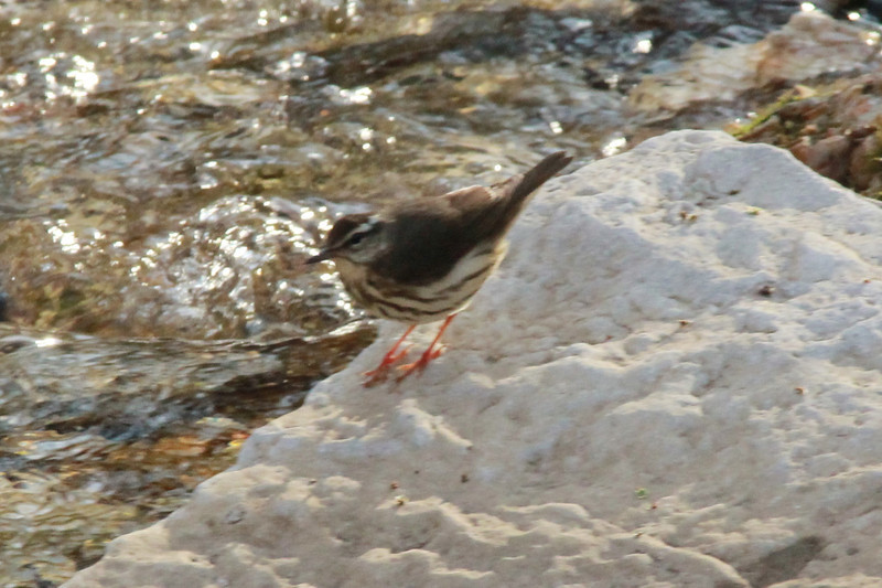 Louisiana Waterthrush @ Rockwoods Reservation [Hamilton Creek]