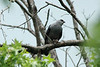 Mississippi Kite @ Trail of Tears SP