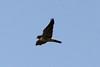 Peregrine Falcon @ Riverlands MBS [over Ellis Bay]