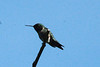 Ruby-throated Hummingbird [Male] @ Blue Grosbeak Trail