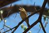 Worm-eating Warbler @ Rockwoods Reservation
