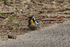 Yellow-throated Warbler @ Rockwoods Reservation [Glencoe Road]