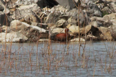 Cinnamon Teal @ Riverlands MBS [flooded area below Ellis Bay]