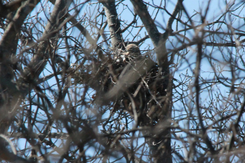 Red-shouldered Hawk (in nest) @ Simpson Lake CP