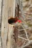 Red-bellied Woodpecker (in hole) @ Rockwoods Reservation