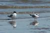 Bonaparte's Gulls @ Riverlands MBS [Ellis Bay]