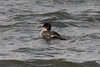 Red-breasted Merganser (Female) @ Riverlands MBS [Teal Pond]