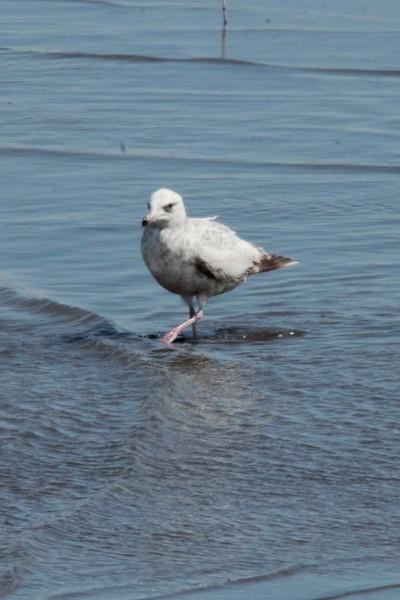 Glaucous Gull @ Riverlands MBS [Ellis Bay]