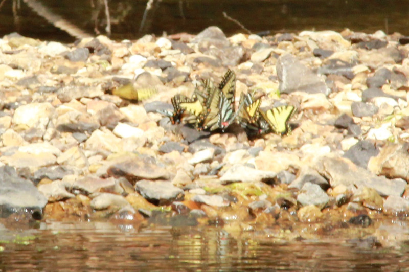 Butterflies @ Lost Valley Trail