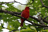 Summer Tanager (Male) @ Trail of Tears SP
