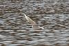 Bonaparte's Gull @ Creve Coeur CP [near Taco Bell Pavilion]
