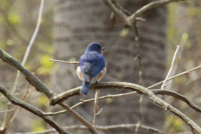 Eastern Bluebird (Male) @ Rockwoods Reservation