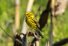 Prairie Warbler @ Blue Grosbeak Trail