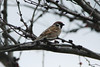 Eurasian Tree Sparrow @ Two River NWR [Visitor Center]