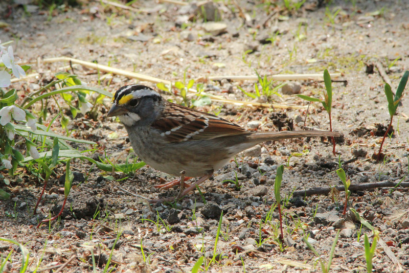 White-throated Sparrow @ Castlewood SP
