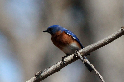 Eastern Bluebird (Male) @ Shaw Nature Reserve [Wild Flower Trail]
