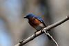 Eastern Bluebird (Male) @ Shaw Nature Reserve [Wild Flower Trail]
