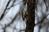 Brown Creeper @ Shaw Nature Reserve [Quarry Road]
