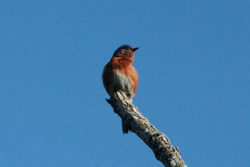 Eastern Bluebird @ Castlewood SP