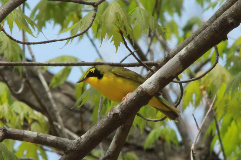 Kentucky Warbler @ Lost Valley Trail
