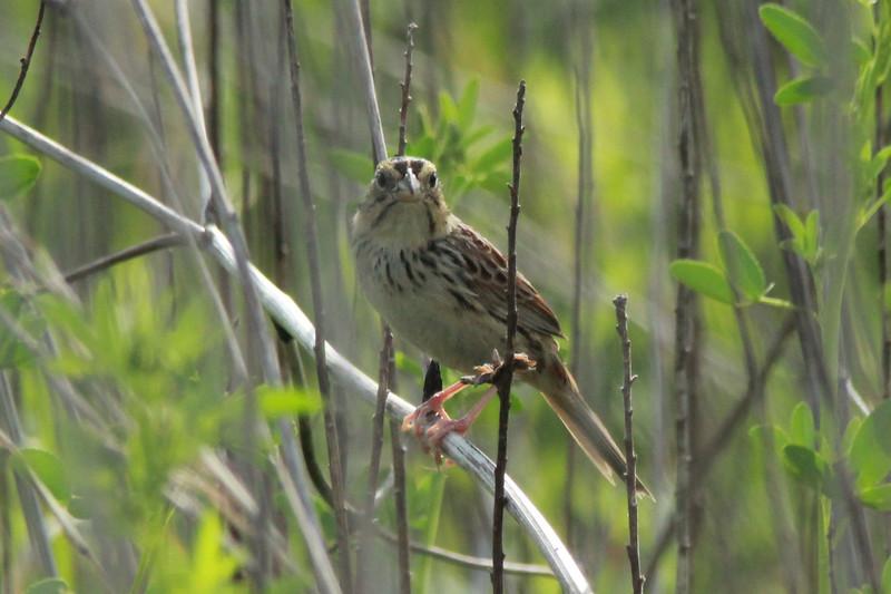 """Henslow's Sparrow @ """"Mount Doom"""""""