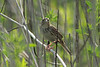 "Henslow's Sparrow @ ""Mount Doom"""