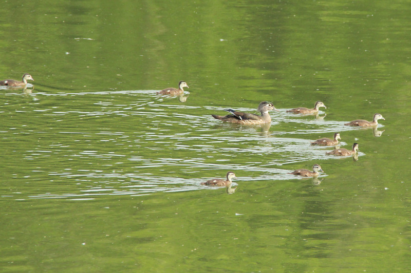 Wood Duck (Female with Ducklings) @ Simpson Lake CP [Water-treatment Ponds]