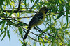 Orchard Oriole [1st Year Male] @ Big Muddy NFWR [Cora Island Unit]