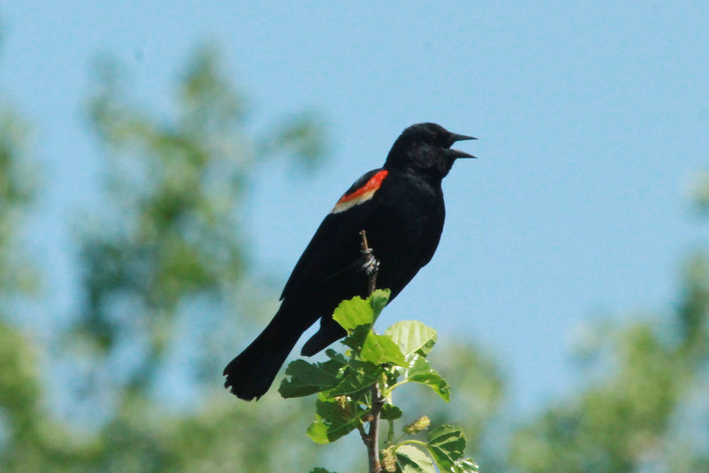Red-winged Blackbird (Male) @ Big Muddy NFWR [Cora Island Unit]