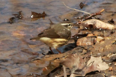 Louisiana Waterthrush @ Shaw Nature Reserve [Trail House Loop Road]