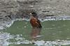 American Robin @ Big Muddy NFWR [Cora Island Unit]